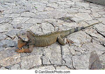 A land iguana in Guayaquil, Ecuador - Full-body view of a...