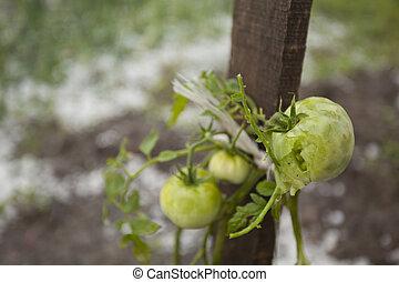 Hail Storm Disaster in garden - Hail damaged garden -...