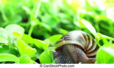 Giant African Land Snail - Front view of a Giant African...