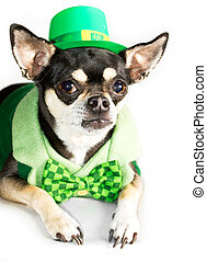 St Patricks Day Chihuahua dressed as leprechaun in green hat...