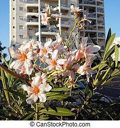 Or Yehuda Nerium Oleander 2010
