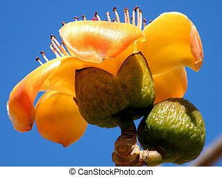 Or Yehuda Bombax ceiba 2011 - Flower and Bud of Bombax ceiba...