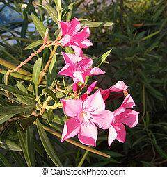 Or Yehuda Pink Nerium Oleander 2010