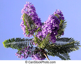 Or Yehuda Jacaranda 2005 - Branch of Purple Blooming...