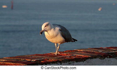 Seagull posing in the sunrise light