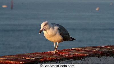 Seagull posing in the sunrise light