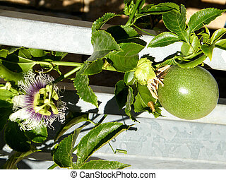 Passiflora flower and fruit - Passiflora flower and fruit in...