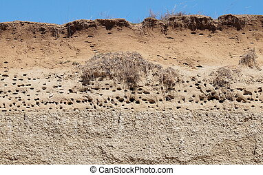 Colony of swallows, Sand Martin - Colony of swallows, Active...