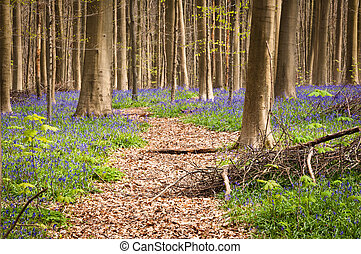 Bluebells in springtime