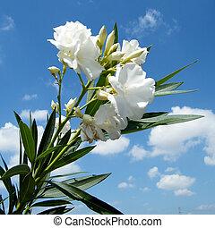 Or Yehuda White Oleander 2010