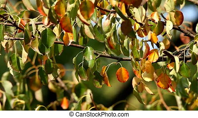 Leaves - Colorful autumn leaves of a wild pear tree