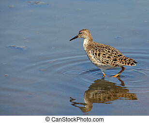 profile of sandpiper searched in the marsh