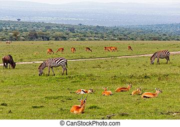 Gazellen,  Zebras