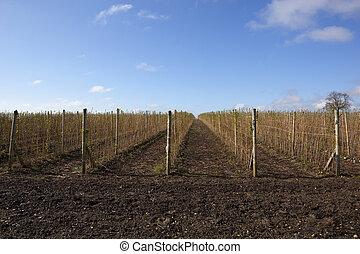 plantação, framboesa