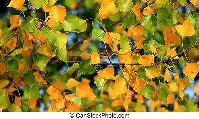 Leaves - Beautiful poplar leaves