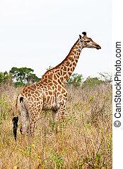 站立, 長頸鹿, 風景,  African