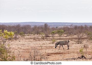 灌木, 步行, 透過,  zebra