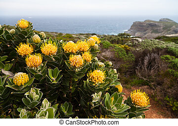 Protea flowers growing on the rocks near the ocean