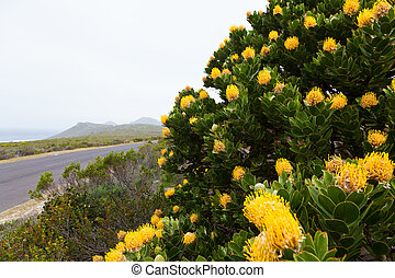 Yellow protea flower   near the road