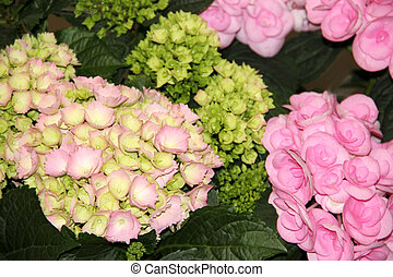 Begonias - Beautiful begonias in pink and limegreen