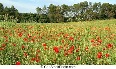 Poppy - Beautiful poppy field landscape