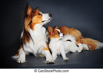 big and small (border collie and papilion puppy