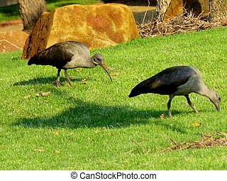 Pair of Hadeda Birds - The Hadeda is a large (about 76 cm...