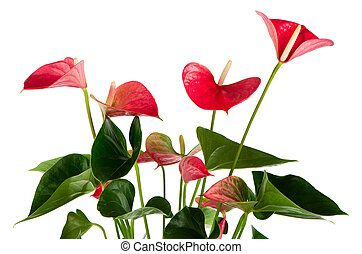 Beautiful Anthedesia anthurium on white background.