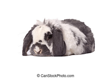 Cute Bunny Rabbit Lying Down - Cute Grey and White Lop Eared...
