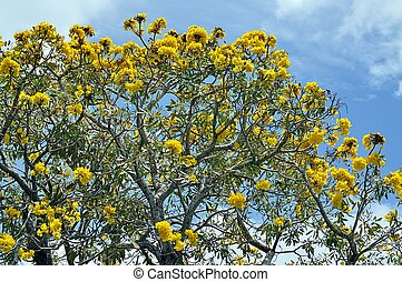 Flamboyant Tree - Yellow Tabebuia Tree in a South Florida...