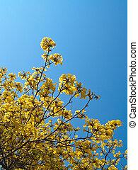 Caribbean trumpet(Ipe flower) blooming This is species of...