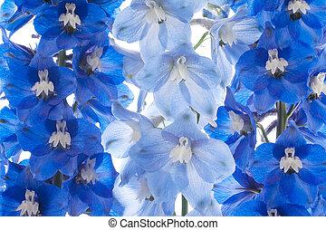 delphinium - Studio Shot of Blue Colored Delphinium Flowers...