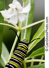 Wildlife and Animals - Caterpillars - A Monarch caterpillar...