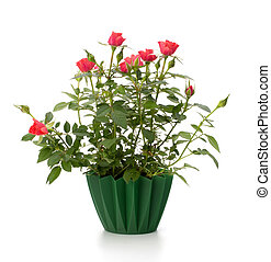 Beautiful rose in flowerpot  isolated on white background