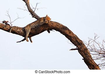 豹, 樹, 睡覺