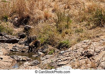鬣狗, 躺, 池