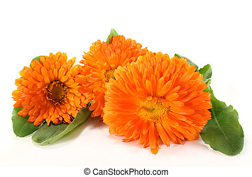 Marigold flowers and leaves on a white background