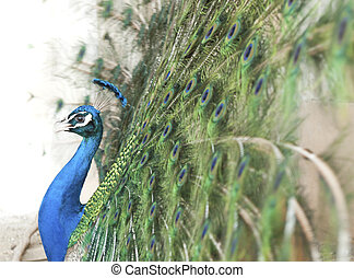 A peacock - The peacock spreading its tail, side view