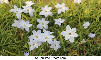 spring starflower - I took the state that a spring...