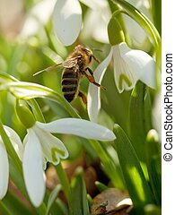 Snowdrop and bee - macro - Spring snowdrop flowers in a...