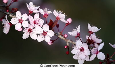 Flowers - Beautiful plum flowers