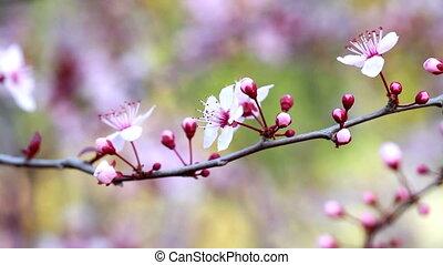 Flowers - Beautiful plum flowers
