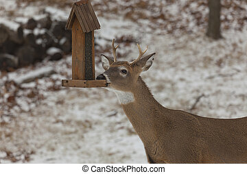 Male Deer at Birdfeeder - A photo of a male deer feeding at...
