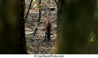 Deer - Young red deer