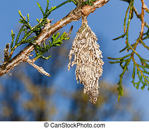 Bagworm on pine fir tree branch - Macro image of bagworm...