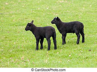 Pair of black welsh lambs in meadow