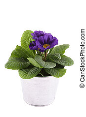 Purple Primrose - Close-up purple Primrose potted plant...