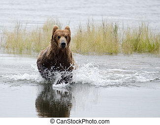 Alaskan Brown bear running through water - An Alaskan brown...