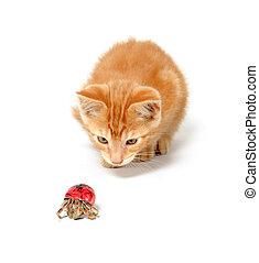 Kitten playing with hermit crab