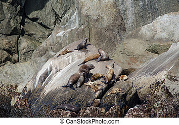 Stellar sea lions resting on a rock in Kenai Fjords National...
